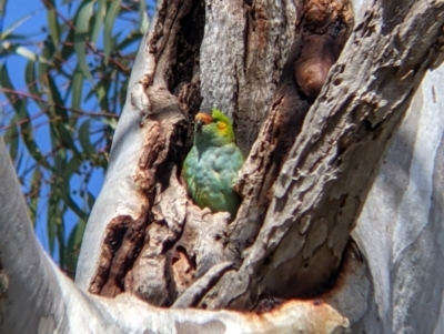 Unidentified Parrot (TBC) at Kerang, VIC - 15 Aug 2021 by Darcy