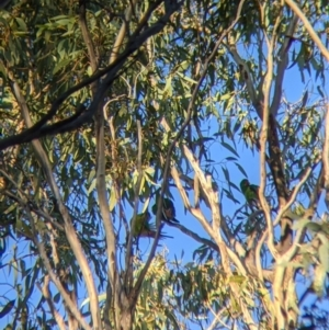 Lathamus discolor (Swift Parrot) at suppressed by Darcy