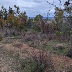 Indigofera australis subsp. australis (Australian Indigo) at Coree, ACT - 24 Aug 2021 by hughagan