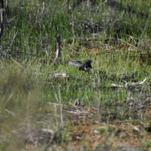 Rhipidura leucophrys (Willie Wagtail) at Goschen, VIC by Darcy