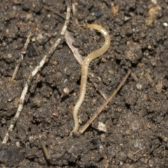 Geophilomorpha sp. (order) (Earth or soil centipede) at Higgins, ACT - 25 Aug 2021 by AlisonMilton