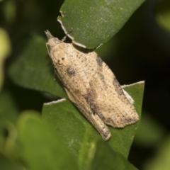 Epiphyas postvittana (Light Brown Apple Moth) at Higgins, ACT - 25 Aug 2021 by AlisonMilton