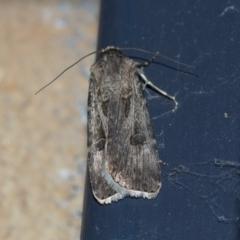 Agrotis munda (Brown Cutworm) at Higgins, ACT - 25 Aug 2021 by AlisonMilton