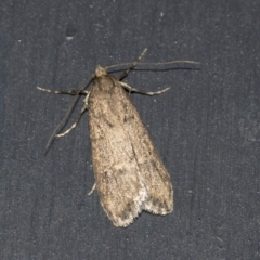 Unidentified Pyralid or Snout Moth (Pyralidae & Crambidae) (TBC) at Higgins, ACT - 22 Aug 2021 by AlisonMilton