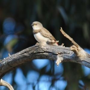 Stagonopleura guttata at Grenfell, NSW - 29 Dec 2012