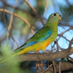 Neophema pulchella (Turquoise Parrot) at Grenfell, NSW - 29 Dec 2012 by Harrisi