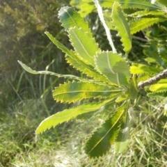 Banksia serrata (Saw Banksia) at Dunlop, ACT - 27 Jun 2021 by johnpugh