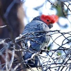Callocephalon fimbriatum (Gang-gang Cockatoo) at Canyonleigh, NSW - 26 Aug 2021 by Snowflake