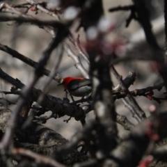 Myzomela sanguinolenta (Scarlet Honeyeater) at Macgregor, ACT - 26 Aug 2021 by Caric