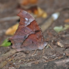 Unidentified Butterfly (Lepidoptera, Rhopalocera) (TBC) at suppressed - 2 Aug 2009 by Harrisi