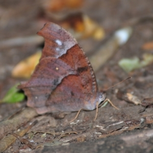 Unidentified Butterfly (Lepidoptera, Rhopalocera) (TBC) at suppressed by Harrisi