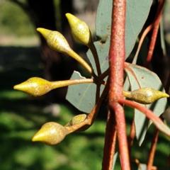 Eucalyptus sideroxylon (Mugga Ironbark) at Cook, ACT - 25 Aug 2021 by drakes