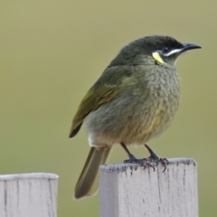 Meliphaga lewinii (Lewin's Honeyeater) at O'Reilly, QLD - 4 Aug 2009 by Harrisi