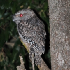 Podargus ocellatus plumiferus (Plumed Frogmouth) at Sarabah, QLD - 4 Aug 2009 by Harrisi
