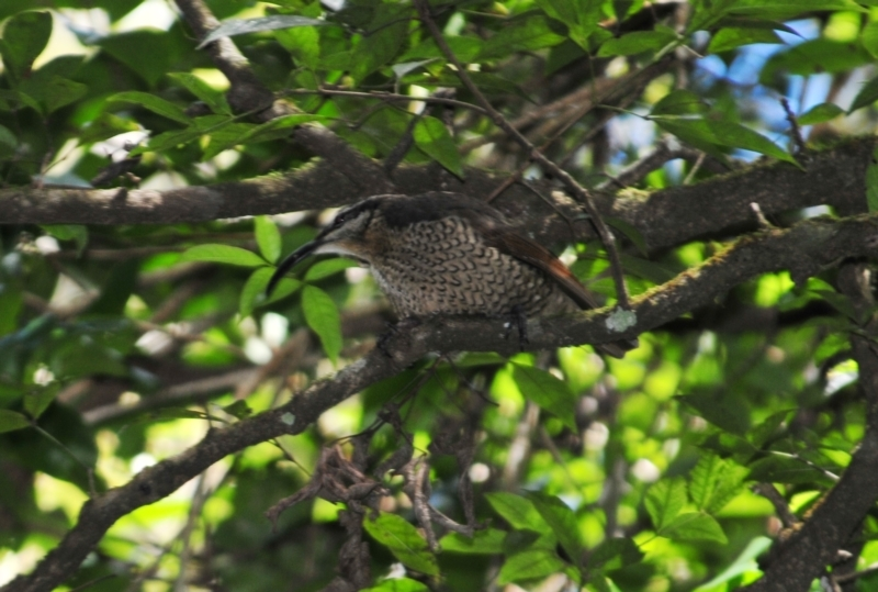 Ptiloris paradiseus at O'Reilly, QLD - 4 Aug 2009