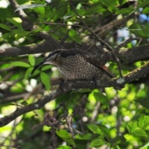 Ptiloris paradiseus (Paradise Riflebird) at O'Reilly, QLD by Harrisi
