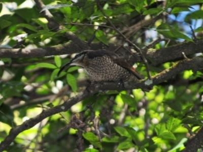 Ptiloris paradiseus (Paradise Riflebird) at O'Reilly, QLD - 4 Aug 2009 by Harrisi