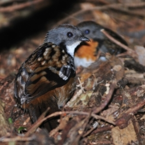 Orthonyx temminckii (Australian Logrunner) at O'Reilly, QLD by Harrisi