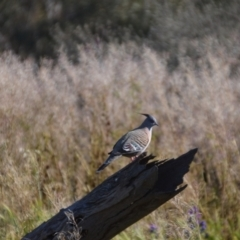 Ocyphaps lophotes (Crested Pigeon) at Leeton, NSW - 2 Oct 2020 by natureguy