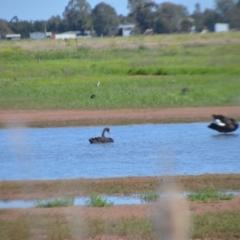Cygnus atratus (Black Swan) at Leeton, NSW - 2 Oct 2020 by natureguy