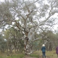 Eucalyptus mannifera (Brittle Gum) at Bungendore, NSW - 10 Jul 2021 by michaelb