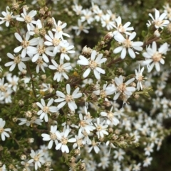 Olearia microphylla (Olearia) at O'Connor, ACT - 27 Aug 2021 by RWPurdie