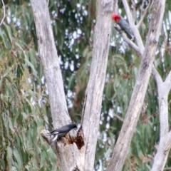 Strepera graculina (Pied Currawong) at Deakin, ACT - 27 Aug 2021 by LisaH