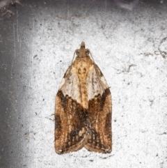 Epiphyas postvittana (Light Brown Apple Moth) at Macgregor, ACT - 27 Aug 2021 by Roger