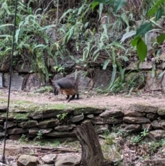 Wallabia bicolor (TBC) at suppressed - 7 Oct 2019 by Darcy