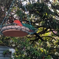 Alisterus scapularis (Australian King-Parrot) at Wellington, NSW - 4 Oct 2019 by Darcy