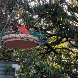Alisterus scapularis at Wellington, NSW - 4 Oct 2019