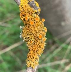 Teloschistes sp. (A lichen) at Murrumbateman, NSW - 27 Aug 2021 by SimoneC