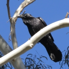 Corvus coronoides (Australian Raven) at Narrabundah, ACT - 25 Aug 2021 by RobParnell