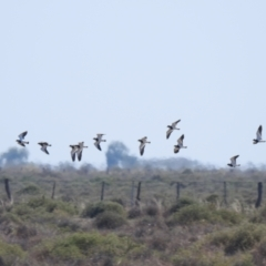 Vanellus tricolor (Banded Lapwing) at Wanganella, NSW - 2 Apr 2021 by Liam.m