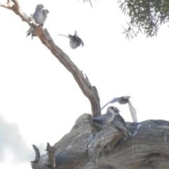 Artamus cinereus (Black-faced Woodswallow) at Wanganella, NSW - 2 Apr 2021 by Liam.m