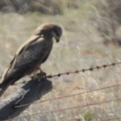 Milvus migrans (Black Kite) at Wanganella, NSW - 2 Apr 2021 by Liam.m