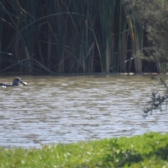 Malacorhynchus membranaceus (Pink-eared Duck) at Wanganella, NSW - 2 Apr 2021 by Liam.m