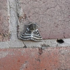 Unidentified Moth (Lepidoptera) (TBC) at Wanganella, NSW - 2 Apr 2021 by Liam.m