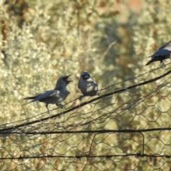 Artamus cinereus (Black-faced Woodswallow) at Booroorban, NSW - 4 Apr 2021 by Liam.m