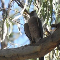 Accipiter cirrocephalus (Collared Sparrowhawk) at Deniliquin, NSW - 4 Apr 2021 by Liam.m