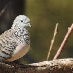 Geopelia placida (Peaceful Dove) at Deniliquin, NSW - 4 Apr 2021 by Liam.m