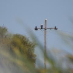 Haliaeetus leucogaster (White-bellied Sea-Eagle) at Wanganella, NSW - 4 Apr 2021 by Liam.m