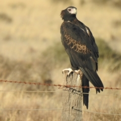 Aquila audax (Wedge-tailed Eagle) at Wanganella, NSW - 4 Apr 2021 by Liam.m