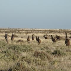 Dromaius novaehollandiae (Emu) at Wanganella, NSW - 4 Apr 2021 by Liam.m