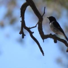Melanodryas cucullata (Hooded Robin) at Big Springs, NSW - 10 Jan 2021 by Liam.m