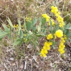 Acacia baileyana (Cootamundra Wattle, Golden Mimosa) at Cook, ACT - 25 Aug 2021 by drakes