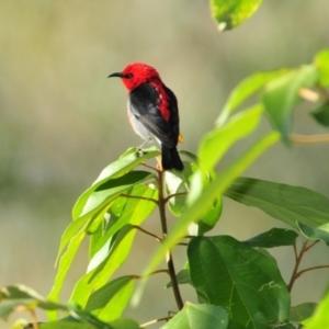 Myzomela sanguinolenta (Scarlet Honeyeater) at Sarabah, QLD by Harrisi