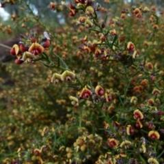 Daviesia genistifolia (Broom Bitter Pea) at Queanbeyan West, NSW - 27 Aug 2021 by Paul4K