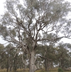 Eucalyptus bridgesiana (Apple Box) at Bungendore, NSW - 10 Jul 2021 by michaelb