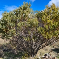 Acacia cultriformis (Knife Leaf Wattle) at Jerrabomberra, ACT - 28 Aug 2021 by Mike
